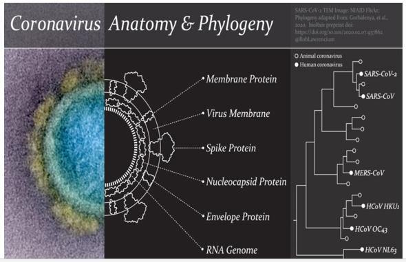 Coronavirus Anatomy & Phylogeny